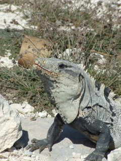 iguana 240x320