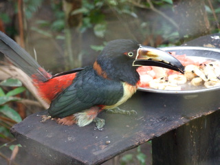 keel billed tucan 320x240