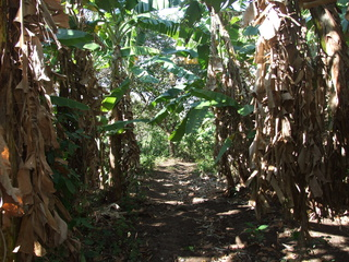 hiking bananna trees 320x240