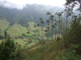 wax palms cocora 320x240