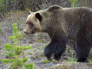 grizzly bear 320x240