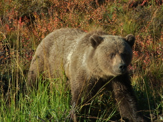 dempster grizzley bear sow 320x240